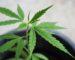 macetas-cultivo-marihuana-exterior